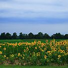 Sunflowers  by Lisa G. Putman