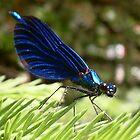 Blue wings Dragonfly by Bonus