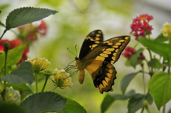 Thoa Swallowtail by Michael Cummings