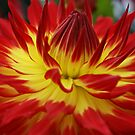 Sunburst - Dahlia by Terrie Taylor