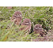 Trio of Baby Burrowing Owls, As Is Photographic Print