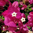 Pink bougainvillea flowers by hummingbirds