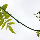 carnival wisteria by yvesrossetti