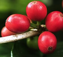 Coffea arabica by andrachne