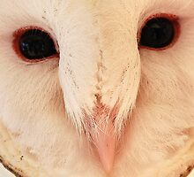 Barn owl, face on. by Tigersoul