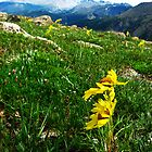 Rocky Mountain tundra wildflowers by neimer