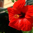 Red Hibiscus by Tony Walton