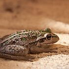 Green Frog by palmerphoto