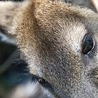 Kangaroo Closeup by palmerphoto