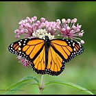 Male Monarch butterfly by pieceoflace