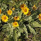Arrowleaf Balsamroot by Vickie Emms