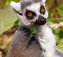 Mr cool - Ring Tailed Lemur by Tony Walton