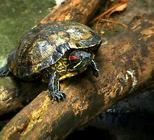 The Red-Eared Slider   by Mikaela Fox