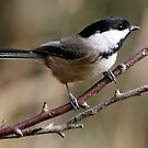 Chickadee in Autumn: A Poem in Feathers by Wolf Read