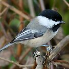 Chickadee in Autumn: Double Grip by Wolf Read