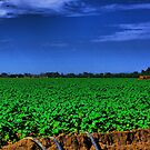 Cotton Field Being Irrigated by Buckwhite