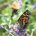 Pretty Painted Lady by WalnutHill