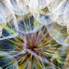 Dandelion Macro by Zach Pezzillo