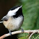 Chickadee Skywatcher: Peering Upward by Wolf Read