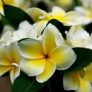 Frangipani Bouquet by Adam Jones