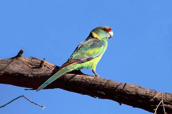Australian Ringneck (Mallee) by mosaicavenues
