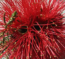 The waxy bottlebrush.. by Ali Brown