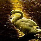 Swan at sunset by LudaNayvelt