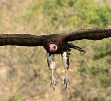 Hooded vulture in flight by jozi1