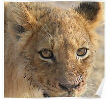 Happy well fed lion cub!(That buffalo tasted really good!) Poster