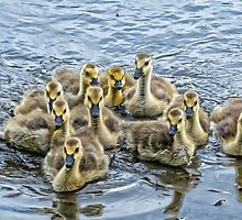 a gaggle of goslings by KathleenRinker