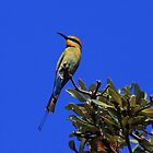 Rainbow Bee Eater by Ann  Van Breemen
