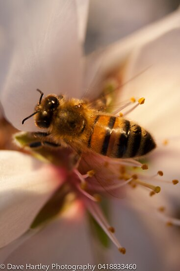 Bee at work by Dave  Hartley