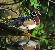 Late Summer Wood Duck by Rich Summers