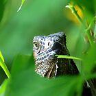 Old Green Iguana - Costa Rica by Jason Weigner