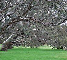 Eucalyptus Trees  by Lozzar Landscape