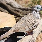 Peaceful Dove by burnettbirder