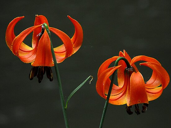 Orange lilies by the river by jammingene