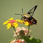 Hummingbird Moth II by rasnidreamer