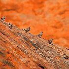 zebra finches by PeterDamo