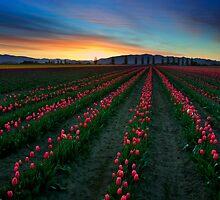 Tulip Garden at sunrise, Pacific Northwest by Tomas Kaspar