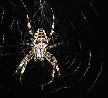 Golden Cross Orb Web Spider 2 by Chris Day