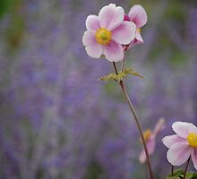 Pink Anemones on Purple by Matthew Folley