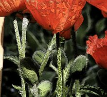 Poppies outlined by Carolyn  Reinhart