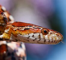 Corn Snake by Etwin