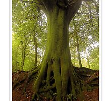 Beech, Hembury Fort, East Devon by Mike  Waldron