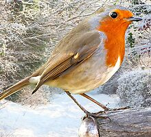 Christmas Robin by Norfolkimages