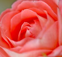 Peach Rose by Danielle Girouard