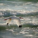 ibis in flight by Mark de Jong
