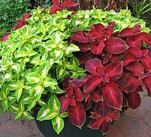 Pretty Bushes with Variegated Green and Crimson Leaves by BlueMoonRose