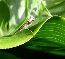 Crane Fly Resting by elsha